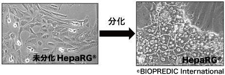 Fig.1 HepaRG®の細胞形態