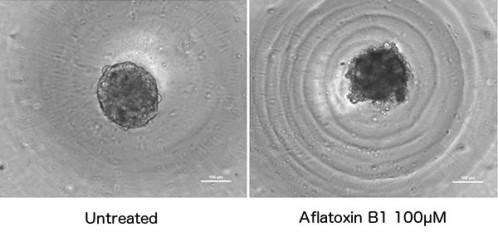 図3.Hepatocells 4日目スフェロイドに対するaflatoxin B1曝露の影響     培養4日目の正常HepatoCellsスフェロイド(1.5K cells/スフェロイド,左)と,それを100μM aflatoxin B1に24時間曝露した後のスフェロイド(右).スフェロイド周囲の環状模様はウェルU底底面の模様.バーの長さはともに100μm.