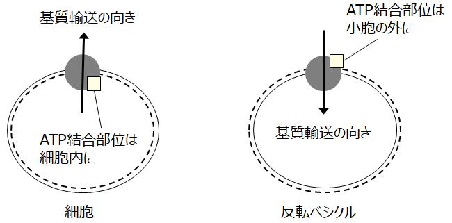 図1.ABCトランスポーターの細胞と反転ベシクルにおける配向