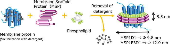 Membrane protain(Solubilization with detergent)とMembrane Scaffold Protein(MSP)とPhospholipidから,膜タンパク質を再構築する図.再構築する際,Membrane protainのdetergentは取り除かれる.MSP1D1→Φ9.8nm,MSP1E3D1→Φ12.9nm