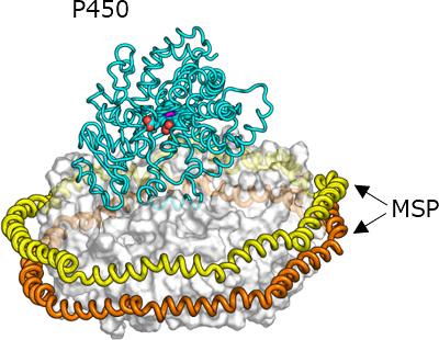 図:P450-NanoDiscイメージ